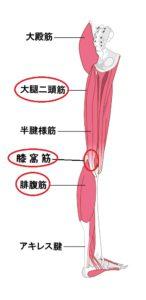 大殿筋 大腿二頭筋 腓腹筋 アキレス腱 膝窩筋